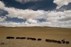 yak yak yak ... ladakh (DeCo2912) Tags: jammu kashmir ladakh india himalaya yak