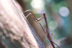 Narrow-winged mantis (takapata) Tags: sony sel90m28g ilce7m2 macro nature insect mantis