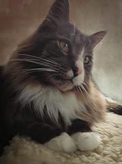Spikes~Always in my heart (Skip Staheli *11 YEARS SL PHOTOGRAPHY*) Tags: mainecoon cat memorial sorrow feelings emotion rl