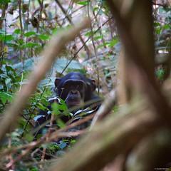 IMGP6952 Chimpanzee (Claudio e Lucia Images around the world) Tags: rubondo island lake victoria tanzania chimpanzee chimps scimpanzé pan scimmia primate chimp jungle forest asilia africa pentax pentaxk3ii sigma sigma50500 bigma sigmaart pentaxart