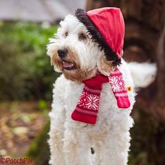 "Little Red Riding Hood - Explored #47 (twinnieE) Tags: ""dollythedoodleuk"" ""littleredridinghood"" doodle pet ""dogphotographer"" poochpix puppy cockerpoo ""doggyfashion"" ""doggystyle"" doggy dog"
