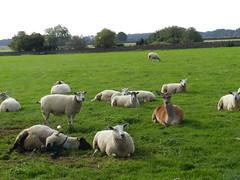 Amongst friends near Broadway Tower, Broadway, Sep 2018 (allanmaciver) Tags: deer sheep broadway cotswolds england hill pastoral green animals wonderful allanmaciver