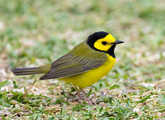 Hooded Warbler (Ed Sivon) Tags: america canon nature wildlife wild western warbler southwest color flickr bird galveston yellow