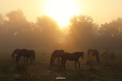 On misty morning (malioli) Tags: mist misty fog foggy sun sunrise down tree horse ford serenity morning sky sunshine croatia animals horses canon hrvatska europe