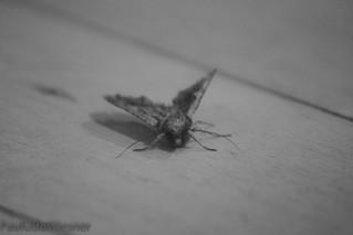 moth on white floor black and white  (1 of 1)