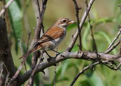Red-backed Shrike (Wild Chroma) Tags: bulgaria birds passerines shrike lanius collurio laniuscollurio