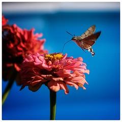 Samos 011 🇬🇷 (The Game 71) Tags: samos grecia grrece isola island falena insetto fiore flower