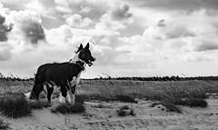 Raksa (czypek) Tags: dog animal desert portrait nature outdoor canon 5d pet bordercollie 50mm