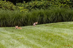 Two Foxes (Donald.Gallagher) Tags: animals bbf backyard de delaware foxes horizontal lutbladegreen mammals nature newcastlecounty northamerica pikecreek public redfox summer typebackbuttonfocus typecolor typelightroom typeportrait typetelephoto usa woodcreek