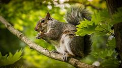DSC_2629 (gianni mattonai photo) Tags: squirrel scotland park garden eat food colors view little scozia scoiattolo vista particolare particular