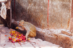 Monkey Eating Marigolds, Holi in India (AdamCohn) Tags: adamcohn bankebiharimandir hindu india shribankeybiharimandir vrindavan holi pilgrim pilgrimage होली