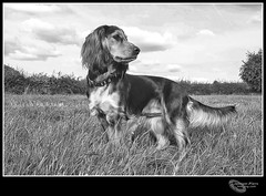 Feeling very proud of Skylar who still has signs of her recent Spaying Op' where the hair still has to grow back, but she is now back to top condition and is loving it out in the field again. (cjpk1) Tags: dog working field cocker spaniel sable