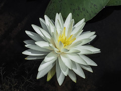 White Water Lily (Shannonsong) Tags: white waterlily nature pond waterplant lilypons md pondplant watergarden petals sylviaplath poet poem