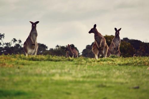 Eastern Grey Kangaroos, Plenty Gorge, Melbourne