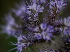 Green manure (BeMo52) Tags: pentacon50mmf18 büschelblume büschelschön bienenweide flora high key macro makro natur nature phacelia imkerpflanze honey plant blume bodenverbesserung gründüngung