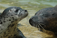 rbour seal with pup - Phoca Vitulina (johco266) Tags: gewonezeehond harboursealpup phoquecommun harbourseal seehund phocavitulina phoque seal zeehond pinnipeds marinemammals vinpotigen carnivora phocidae pinnipedia mammifèremarin trueseals nikon water beach mammal