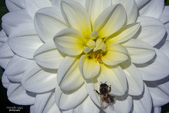 ... little climber (mariola aga) Tags: chicagobotanicgarden glencoe garden plant flower bee macro closeup coth alittlebeauty coth5 thegalaxy