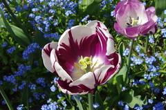 JLF14596 (jlfaurie) Tags: maintenon château castillo palace 22042018 jardin garden tulipes tulipanes tulips mechas gladys amigos friends michel magda sergio primavera printemps pentaxk5ii mpmdf jlfr jlfaurie spring flowers flores fleurs agua eau water canal intérieurs interiores inside