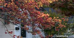 Autumn Leaves (rumimume) Tags: potd rumimume 2017 niagara ontario canada photo canon 80d sigma fall autumn outdoor leaf colour day red tree 2018