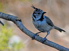 Herrerillo capuchino  (Lophophanes cristatus) (14) (eb3alfmiguel) Tags: aves pájaros passeriformes paridae herrerillo capuchino lophophanes cristatus