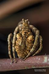 Tree-stump orb weaver (Poltys sp.) - DSC_2782 (nickybay) Tags: africa madagascar macro andasibe voimma treestump orb weaver spider araneidae poltys