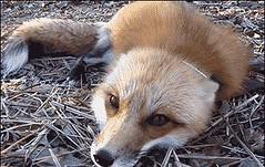 July 29 2018 at 05:51PM (hellfireassault) Tags: foxes july 29 2018 0551pm fantasticfoxes september 18 0224pm