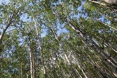 Siberian Birch Forest (peterkelly) Tags: digital asia siberia canon 6d gadventures transmongolianadventure russianfederation russia lakebaikal birch trees forest tree