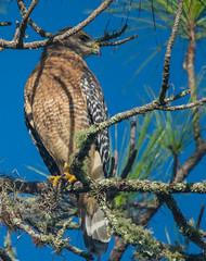 Red tailed Hawk (ap0013) Tags: hawk redtailedhawk bird birding myakkariver statepark sarasotaflorida fl fla nature wildlife