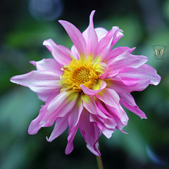 A beauty from our mix of cactus flowered hybrid dahlias (Swallowtail Garden Seeds) Tags: dahlia cactusflowered flower pink hybrid hybridflower hybriddahlia doubleflower macro macroflower pinkflower