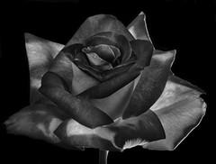 Red And White Rose In Black And White (Bill Gracey 20 Million Views) Tags: fleur flower flor rosa rose blackbackground blackandwhite bw noiretblanc blancoynegro nature macrolens floralphotography homestudio yongnuo yongnuorf603n roguegrid softbox