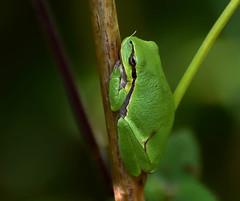 tree frog (boomkikker} (moniquedoon) Tags: frog kikker treefrog boomkikker amfibie green rogs nature natuur wildlife nikon