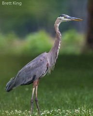 GBH (dbking2162) Tags: birds bird beautiful beauty nature nationalgeographic wildlife water green greatblueheron heron egrets portrait indiana hunting animal explore