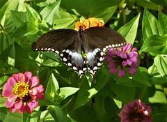 Male Spicebush Swallowtail (Joanna Key) Tags: spicebush swallowtail illinois enjoy charleston il
