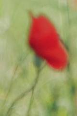 (cнαт-ɴoιr^^) Tags: 20180617p1300457 outoffocus flora flower fiori fleur mohn poppy rot rosso red rouge