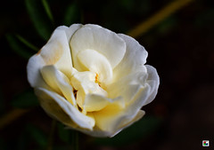 White & yellow combination flower (Aniruddha1978) Tags: flower nature rose white yellow leaf closup