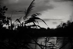 Looking through (Mi-Fo-to) Tags: torbiere sebino brescia pond bianco nero black white stagno oasi naturale natural landscape grass erba erbacee piante paesaggio rokkor 40 2 bokeh mrokkor