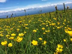 Field of buttercups (fjordaan) Tags: 2018 studland