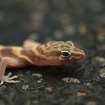 Western Banded Gecko (Coleonyx variegatus) thumbnail