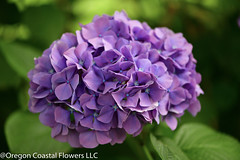 purple hydrangea (Oregon Coastal Flowers) Tags: purple lavender hydrangea