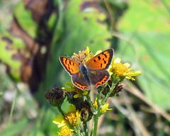 Small Copper - Lycaena phlaeas (erdragonfly) Tags: lycaenaphlaeas
