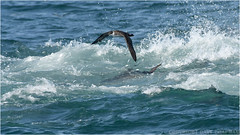 "Great shearwater / Atlantic blue fin tuna (DaveChapman ""If it flies,I shoot it"") Tags: atlantic atlanticbluefintuna greatshearwater shearwater scilly pelagics bird birds blue boat seabird nikon nikond500 flying flight ocean 2018"