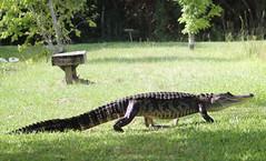 American alligator (Alligator mississippiensis) (im2fast4u2c) Tags: american alligator mississippiensis animal wildlife sheldon lake state park reptile