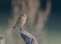 Whinchat ( Saxicola rubetra ) Male (Dale Ayres) Tags: whinchat saxicola rubetra male bird nature wildlife wood
