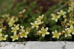 saxifrages (bulbocode909) Tags: valais suisse valferret fleurs saxifrages montagnes nature vert jaune