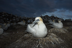 Northern Gannet (Daniel Trim) Tags: northern gannet morus bassanus saltee great island bird nature sea colony photography ireland with nesting material courting