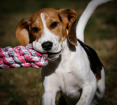 Spike (LuckyMeyer) Tags: dog pet beagle hund haustier play garden