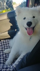 X car ride (osiristhe) Tags: cellphone resized samoyed dog puppy