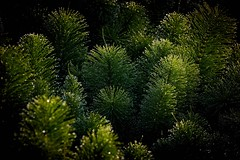 Water droplets (Chris Hamilton Photography) Tags: clacton d5100 nature fir plant tree green nikon photography abstract pattern evergreen
