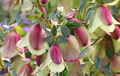 Qualup Bell -Pimelea physodes -Kings Park Perth (4) (ailognom2005) Tags: perth westernaustralia australia flora flowers florafauna qualupbell pimeleaphysodes kingspark naturalhistory