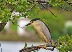 Black-Crowned Night Heron (Nycticorax nycticorax) (Changer4Ever) Tags: nikon d750 150600mm bird animal life nature outdoor color bokeh dof depthoffield feather wildlife 150600mmf5063 blackcrownednightheron nycticoraxnycticorax